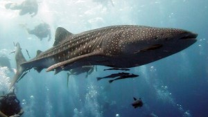 акула кит
