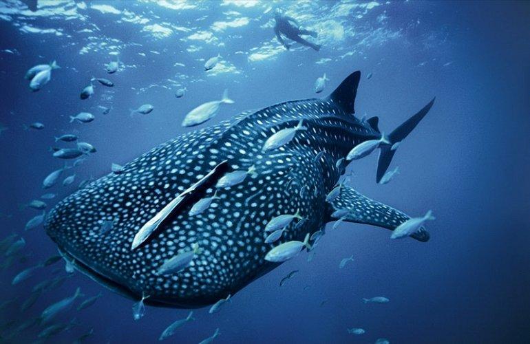 китовая акула 2b3
